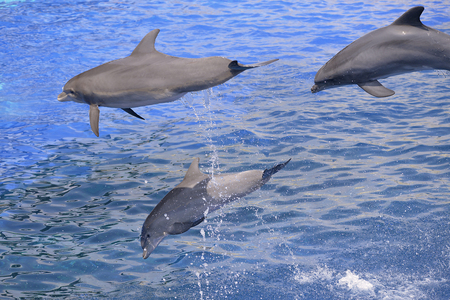Three bottlenose dolphins (Tursiops truncatus) jumping up out of water 版權商用圖片