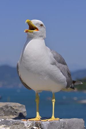 Yellow-legged Gull (Larus michahellis) on rock seen in front of the open beak in Italy