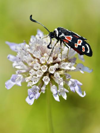 Zygaena butterfly carniolica feeding on flower Stock Photo