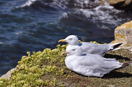 Two herring gulls (Larus argentatus) lying on grass on cliffs of wild coast at Quiberon in Brittany in France