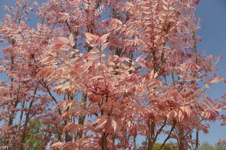 Cedrela sinensis or Toona sinensis with its red leaves