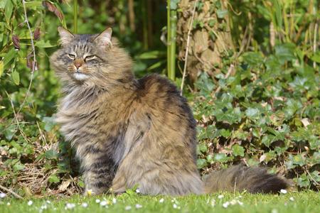 Angora cat (Felis catus) sitting on grass among ivy 写真素材