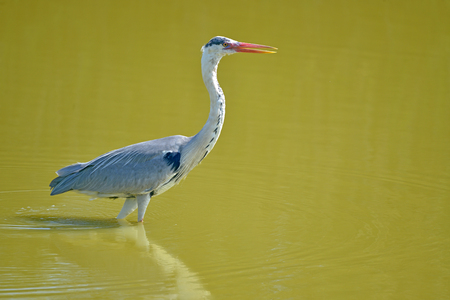 Gray heron (Ardea cinerea) in the Camargue is a natural region located in Arles, France, between the Mediterranean Sea and the two arms of the Rh?ne delta
