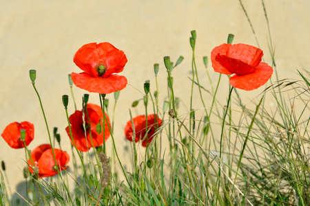 Closeup of red poppies (Papaver rhoeas) on yellow background 版權商用圖片