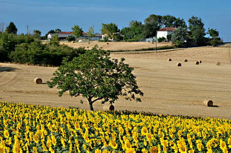 Sunflower (Helianthus annuus) field and tree in France in the Tarn department, Midi-Pyrénées region Stock Photo