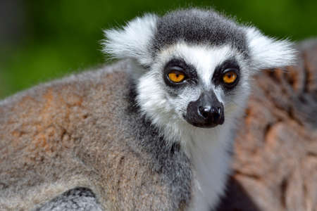 Portrait of front of ring-tailed lemur (Lemur catta)
