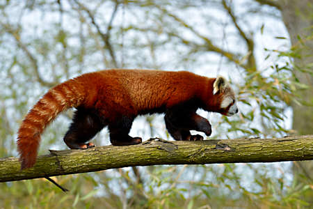 Red panda (Ailurus fulgens) seen from profile and walking on trunk tree Archivio Fotografico
