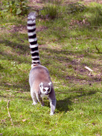 Ring-tailed lemur (Lemur catta) seen from front and walking on grass with tail in the air Archivio Fotografico