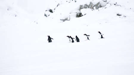 penguins walking on the ice in extreme cold pole