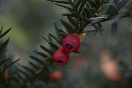 Closeup of english yew taxus baccata fruits Stock Photo