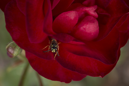 Scarlet red rose with a wasp closup Stock Photo