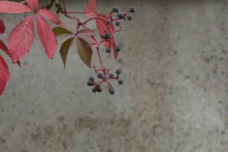 Autumn virginia creeper on a concrete wall background