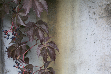 Virginia creeper on a concrete rusty wall background