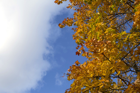 Bright blue autumn sky and orange maple tree background