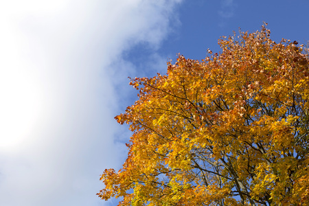 Bright blue autumn sky and orange maple tree background Stock Photo - 89106113