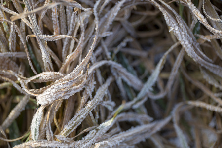 Tangled winter dry grass in the frost on the field close-up Stock Photo - 94283429