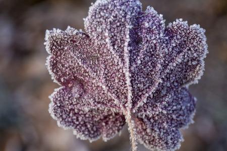 Beautiful purple red frozen leaf of garden plant heuchera close-up in winter sunlight Stock Photo