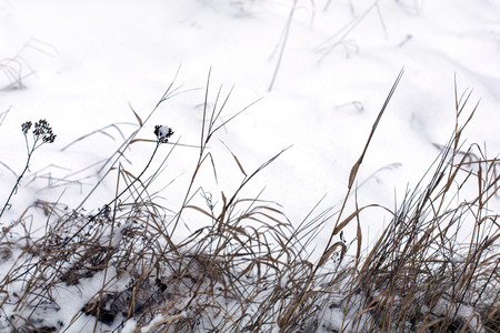 Dry winter grass in snow on a meadow in a daylight Stock Photo - 95456489