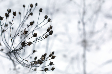 Dry winter grass in snow on a meadow in a daylight closeup