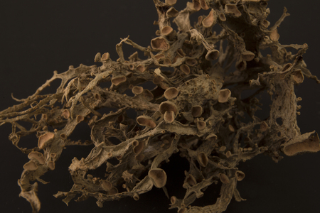 Dried ramalina fraxinea or cartilage lichen closeup abstract background Stok Fotoğraf