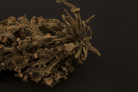 Dried ramalina fraxinea or cartilage lichen closeup abstract background Stock Photo - 96532327