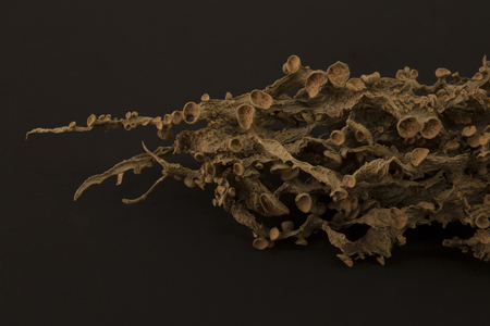 Dried ramalina fraxinea or cartilage lichen closeup abstract background Stock Photo - 96568699