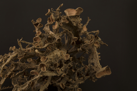 Dried ramalina fraxinea or cartilage lichen closeup abstract background Stock Photo