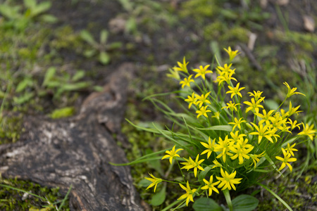 Beautiful photo of Gagea lutea or the Yellow Star-of-Bethlehem in the summer garden background
