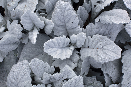 Beautiful white silver leaves of Cineraria with dew drops and brown autumn leaf