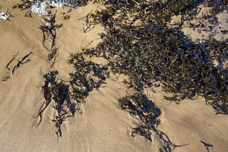 Brown algae washed up on baltic sea beach shore