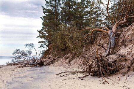 Fallen pine trees on the washed-up sand shore coastline coastal destruction
