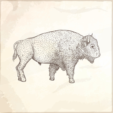 ungulate: Bison hand drawn vector illustration. Farm animal. Illustration