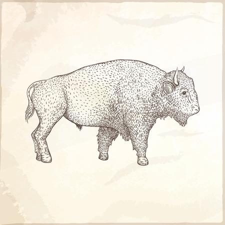 Bison hand drawn vector illustration. Farm animal. Illustration