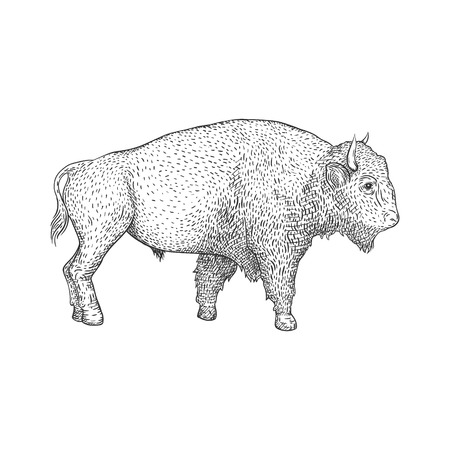 ungulate: Bison hand drawn illustration. Farm animal.