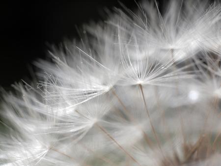 dandelion macro flower