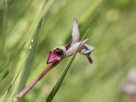 lingua: wild orchid serapias lingua diagonal Stock Photo