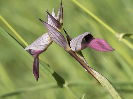 lingua: wild orchid flower serapias lingua