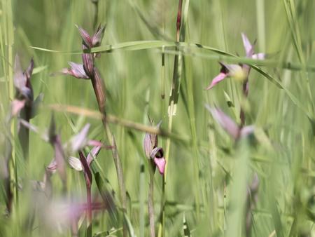 lingua: Wild orchid serapias lingua group