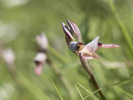 lingua: wild orchid serapias lingua