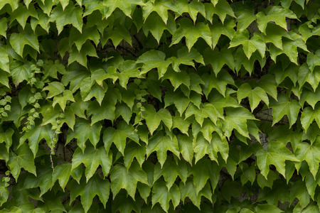 Ivy leaves growing on the wall