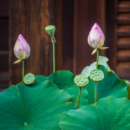 Lotus Flower lily wellness Banque d'images