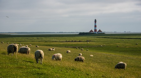 lighthouse westerhever landscape and sheep field