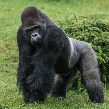 Gorila en pasto verde mirándote