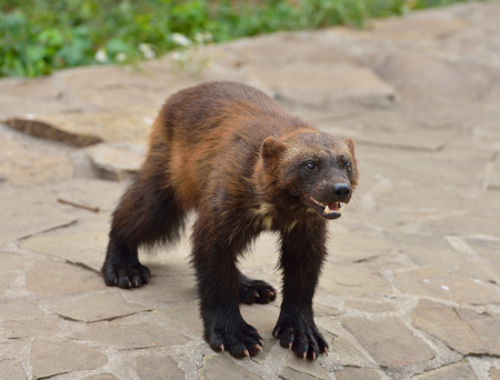 wolverine: Wild Wolverine Stock Photo
