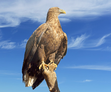 large bird: White-tailed eagle (Haliaeetus albicilla) - also called sea eagle and white-tailed sea-eagle - is large bird of prey in family Accipitridae Stock Photo