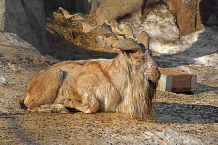 Male Markhor Capra falconeri