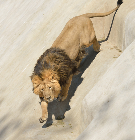 dangerous lion: Running down Asiatic lion (Panthera leo persica) on rock Stock Photo
