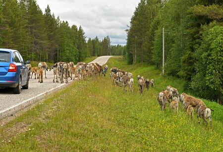 Danger on northern roads of Lapland. Reindeer interfere with traffic