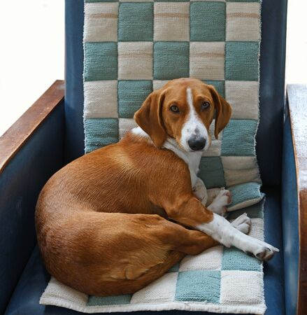 Drever, breed of dog, short-legged scenthound from Sweden used for hunting deer and other game. Dog on comfortable armchair Banco de Imagens