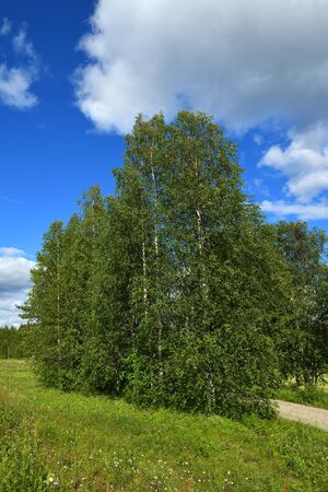 Summer landscape. Birch trees against blue sky. Finland